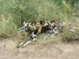 קבוצת כלבי בר